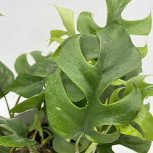 Philodendron trophy
