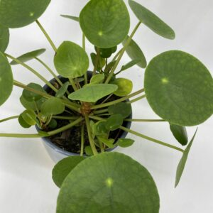 Pilea peperomioides/ Chinese money plant