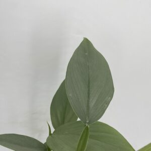 Philodendron Grey / Silver Sword
