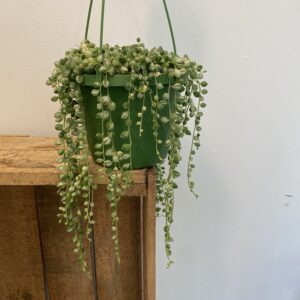 Variegated string of pearls full hanging plant